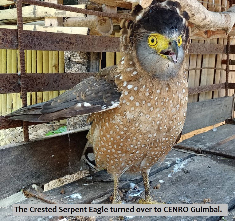 Crested Serpent Eagle turned over to CENRO Guimbal